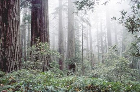 redwoods, sf, fog, san francisco