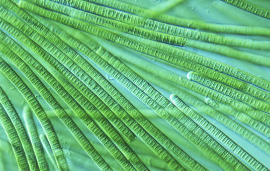 self destructing bacteria could be the key to better biofuels