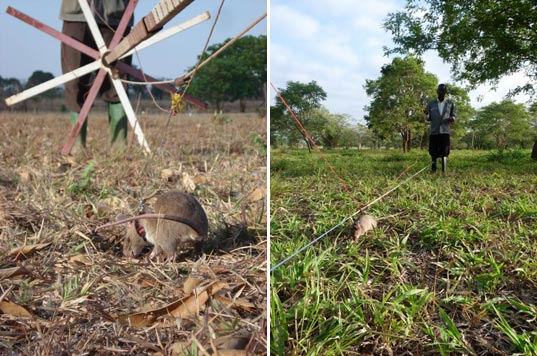sustainable design, green design, hero rats, herorats, land mines, rats trained to find land mines, unexploded landmines, apopo