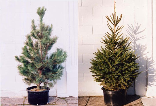 potted xmas tree, potted christmas tree, living tree