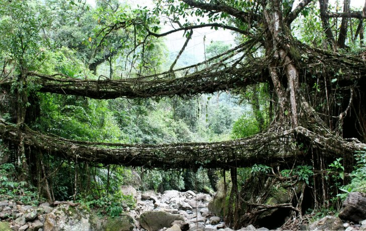 Living Growing Root Bridges Are 100% Natural Architecture