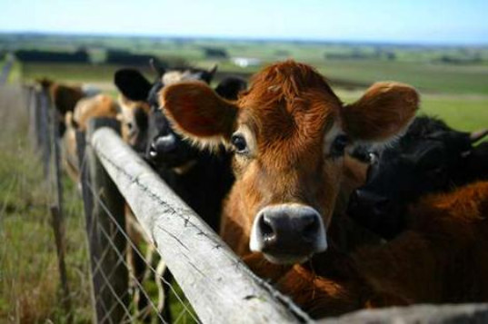 Livestock Power Mill, William Taylor, green farm, cattle, cattle and greenhouse gas emissions, cattle produce power, cow treadmill