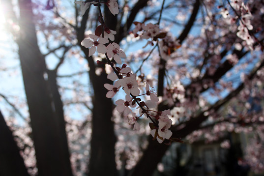 cherry blossoms, san francisco, urban forests, urban trees, green cities, sustainable cities, sustainable design