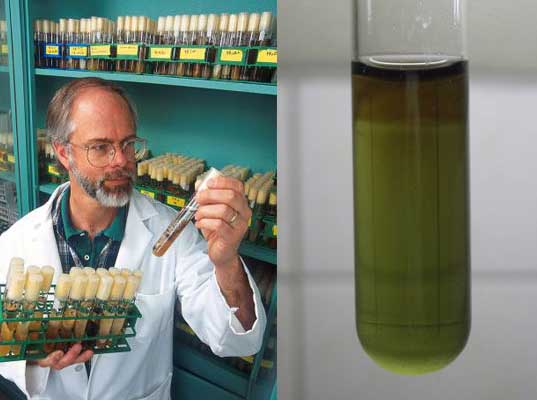 algae biofuels, algae as a fuel, fuel from algae, biofuel research, biofuel production, natural fuel production, petroleum alternatives