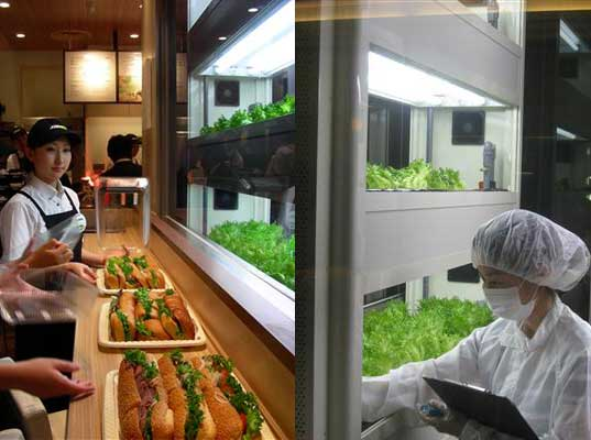 hydroponic vegetables, hydroponic lettuce, hydroponic lettuce subway, is subway healthy, healthy subway sandwich, subway in japan, how to make fast food healthy, healthy fast food, is fast food healthy