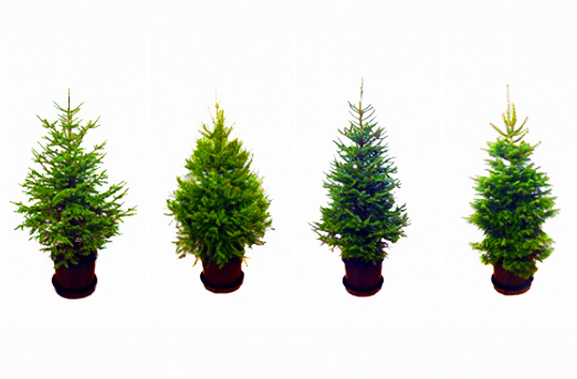 rent a living christmas tree this year - Rent A Decorated Christmas Tree