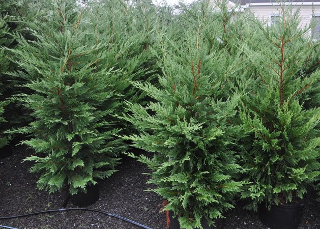 potted christmas tree live christmas tree rent a christmas tree plant christmas tree - Rent Christmas Decorations