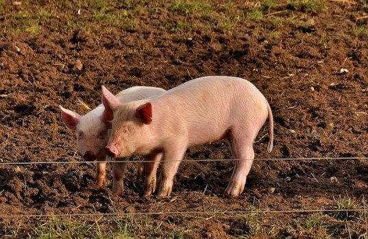 pig farms taiwan, potty trained pigs, potty trained pigs taiwan, pig breeders taiwan, sustainable farming