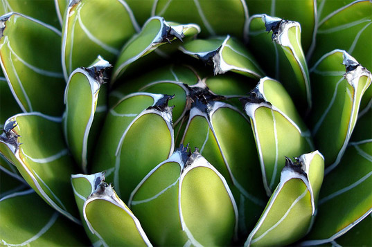 Global Change Biology, Bioenergy agave plant, university of illinois agave plant, tequila agave biofuel, biofuel production tequila, tequila biofuel, clean tech, agave, green design, green energy, alternative energy