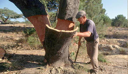 Harvesting cork in Portugal, eco-friendly flooring, eco floors, cork floors, cork tree, how cork is harvested, cork harvesting, green flooring, green floors