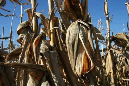 gasoline from corn husks, gasoline from pine waste, biofuel, biodiesel, shell biofuel,