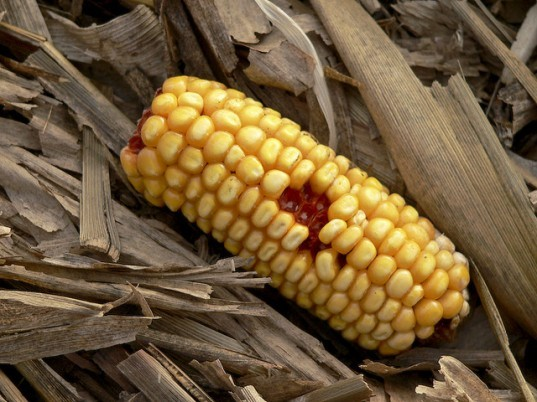 ethanol made from corn waste, corn waste ethanol, poet, us department of energy loan, us back cellulosic ethanol plant