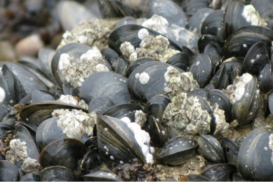 Mussel power: how ocean acidification is changing shells  Mussels In Ocean