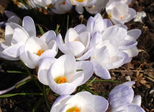 crocus flower, cancer treatment, crocus flower cancer treatment, natural cancer treatment, non toxic cancer treatment, new cancer treatment, innovative cancer treatment, cancer treatment with no side effects, cutting edge cancer treatment