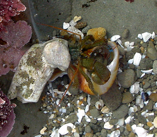 3d printers can help solve hermit crab shell shortage by