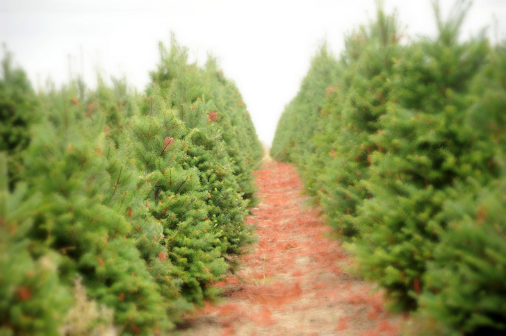 How To Choose A Living Tree Replant After Christmas Inhabitat