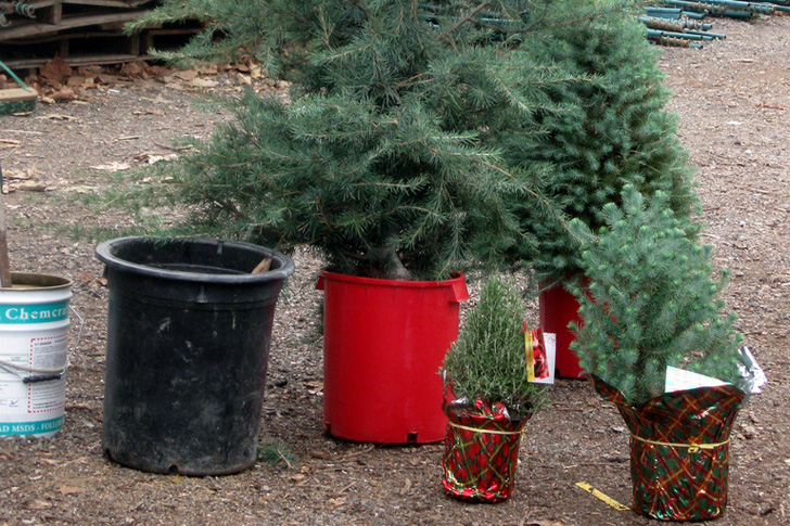 start slideshow - Small Live Christmas Trees In Pots