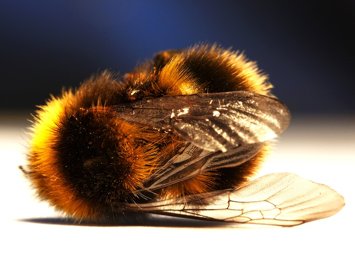 Image result for honey bees and bumblebees dying