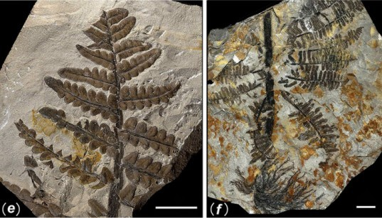 Pangea, ancient forest, Wuda China, preserved forest, ancient forest, 298 million year old forest, Herman Pfefferkorn, University of Pennsylvania, Proceedings of the National Academy of Scientists, Sigillaria, Cordaites, Noeggerthiales, Permian Era