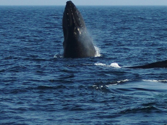 New England Aquarium whale stress, commercial shipping emissions, commercial shipping whale stress, commercial shipping whale effects, 9/11 whales, whale stress shipping, whale hormones stress