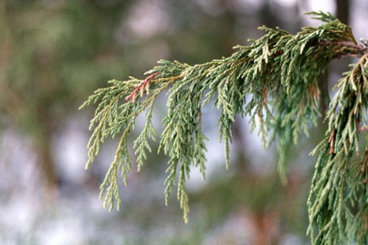trees die alaska, yellow cedar death, cause of yellow cedar death, affects of climate change, climate change deforestation, forrest management, Paul Schaberg Bioscience, bioscience journal, forest management alaska,