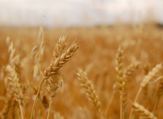 salt proof wheat, salt tolerant wheat, genetically modified plants, modified plants, gmo, high yield wheat, wheat strains, wheat grains, salt tolerant wheat