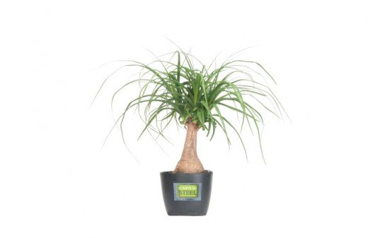 ponytail palm, 6 Hard to Kill Plants for the Recovering Brown Thumb, plants of steel, houseplants, hard to kill houseplants, hard to kill plants, plants that live a long time, low maintenance plants, easy to care for plants, costa farms, urban gardening, gardening, plants, plants that are hard to kill, what plants are hard to kill