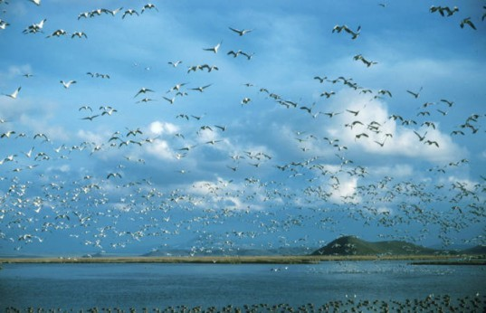 Bird Flight, Avian Cholera, Klamath Basin Refuge, Bird Migration, Bird Deaths, Global Warming