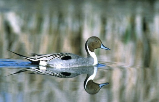 Pintail Duck, Klamath Basin Refuge, Wetlands Loss, Warm Winter, California Duck, Fish and Wildlife Services