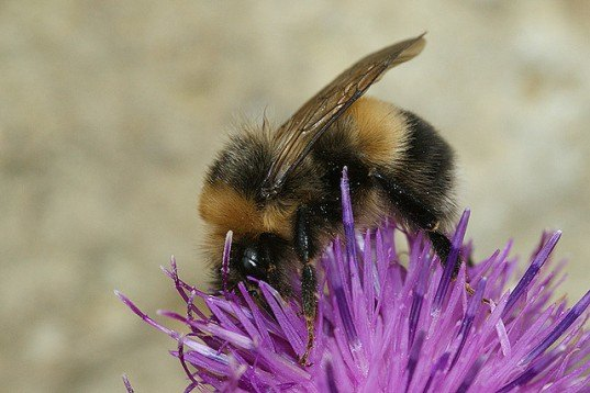 short-hair bumblebees, reintroduce bee population UK, news reports, insect pollination, environmental issues, species extinction, bumblebee extinction,bumblebee population decline,