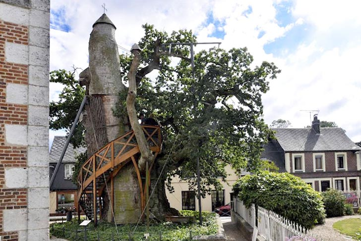 France S Oldest Tree Alive Since Louis Ix Hides