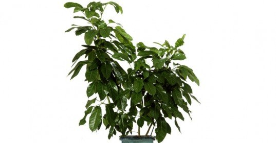 schefflera, 6 Hard to Kill Plants for the Recovering Brown Thumb, plants of steel, houseplants, hard to kill houseplants, hard to kill plants, plants that live a long time, low maintenance plants, easy to care for plants, costa farms, urban gardening, gardening, plants, plants that are hard to kill, what plants are hard to kill