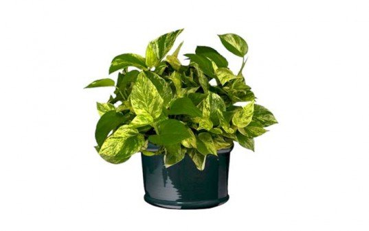 pothos, 6 Hard to Kill Plants for the Recovering Brown Thumb, plants of steel, houseplants, hard to kill houseplants, hard to kill plants, plants that live a long time, low maintenance plants, easy to care for plants, costa farms, urban gardening, gardening, plants, plants that are hard to kill, what plants are hard to kill