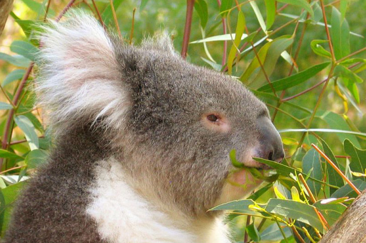 characteristics of koala a threatened species Despite the koala's having been considered a species of least concern since 1996 by the international union for conservation of nature (iucn), the australian government added the koala to the country's threatened species list in 2012.