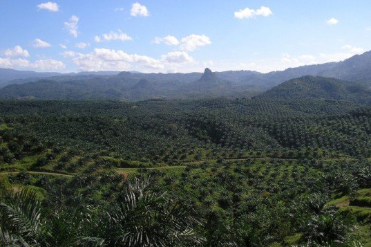 palm oil, oil palm plantation, oil palm environment, indonesia palm oil, peat lands