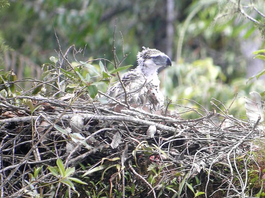 philippine eagle, conservation, endangered species, wildlife law, conservation controversy, philippine eagle case