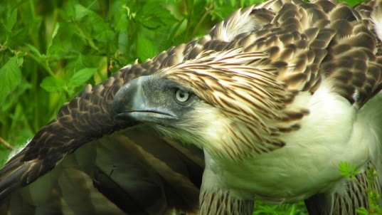 philippine eagle, conservation, endangered species, wildlife law, green design, sustainable design, eco-design, news, Philippines, endangered species, wildlife, conservation