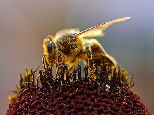 Deformed Wing Virus, bee disappearance, varroa mite, university of sheffield, varroa mite bees, honey bees, parasitic mites, global bee population