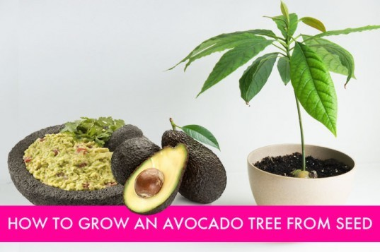how to grow a tree from a seed, grow an avocado tree, how to grow an avocado tree, grow an avocado tree from a pit, what to do with avocado pits, avocado trees indoors
