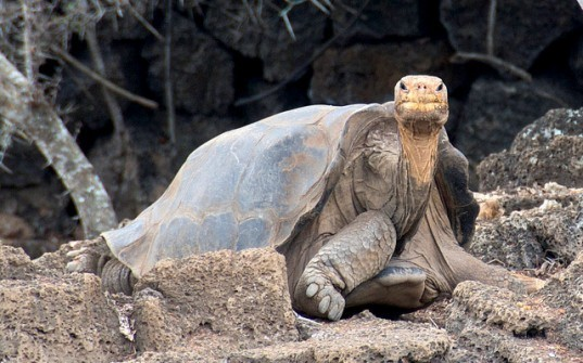 lonesome george,galapagos,giant tortoise,george,extinction