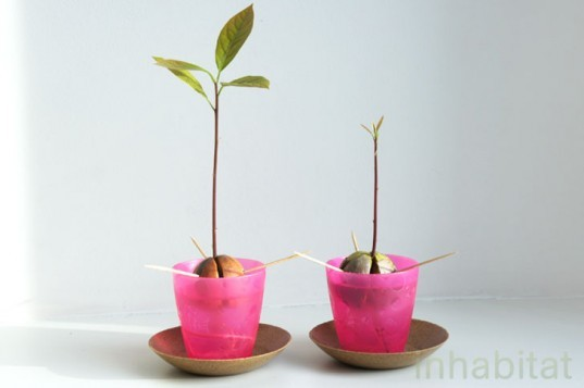 how to grow a tree from a seed, grow an avocado tree, how to grow an avocado tree, grow an avocado tree from a pit, what to do with avocado pits, Sprouted Avocado Pits