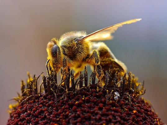 cruiser osr, sygenta, colony collapse disorder, CCD, ANSES, France, National Agency for Food, Safety, and the Environment, thiamethoxam, pesticides