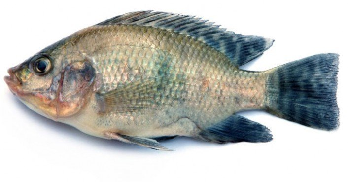 Japanese researchers produce artificial bones out of fish for Do all fish have scales