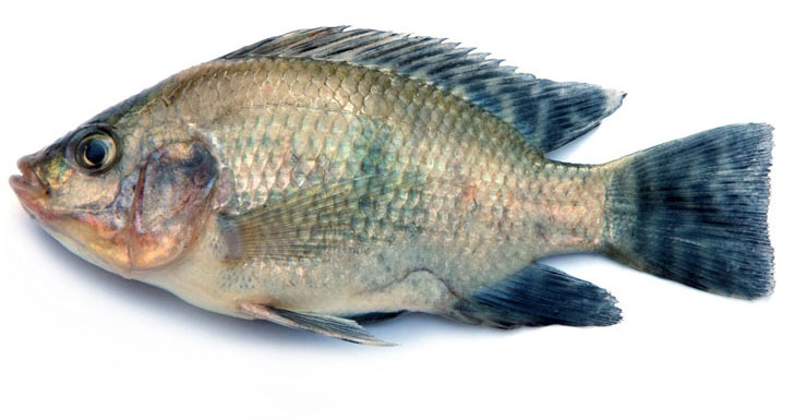 Japanese researchers produce artificial bones out of fish for Is tilapia a fake fish