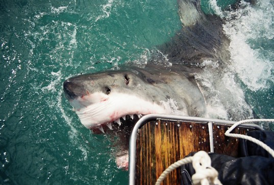 great white shark, shark attacks, protected species, ICUN, Ministry of fisheries, Australian Ministry of Fisheries, Great White Shark attack, ben linden, fatal shark attack