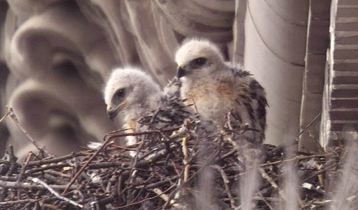 Two Of Pale Male S Red Tail Hawk Babies Are Sick After