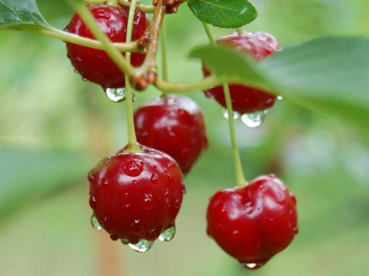 Cherries, fresh cherries, water droplets, ripe cherries, red cherries