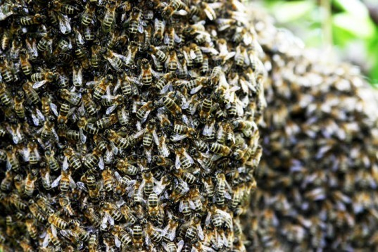 bees swarm delta flight, delta, Pittsburgh International Airport, bees at airport, bees swarm plane, bee swarms, honeybees, bees, swarm of bees, bees on plane,