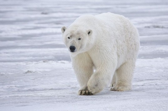 canada, polar bear, tourism, nature tourism, hunting, conservation,
