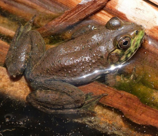 bullfrog, frog, global warming, frog in pond, frog in water